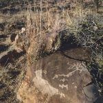 Rock engraving of an eland apparently emerging from grasses. The rock has lichen growing on it that gives the appearance of dense grasses, SOASTR0010033