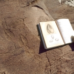 Kalahari, Namibia. Ground engraving of antelope's tracks, almost certainly eland. Note illustration in accompanying book of eland tracks. Image ID: namwnk0010040
